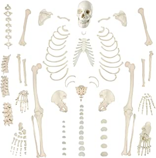 Disarticulated Human Skeleton Model for Anatomy 67 inch High, Full Size Skeleton Models with Poster, Skull, Bones, Articul...
