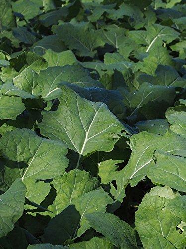 Bremer Scheerkohl (Brassica rapa) 1000 Samen Schnittkohl
