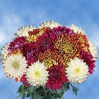 GlobalRose 100 Assorted Fresh Cut Disbud Chrysanthemums Flowers - Fresh Flowers For Birthdays, Weddings or Anniversary.
