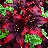 Lilien zwiebeln winterhart mehrjährig Mehrjährige Blumen Balkon Wunderschöne Zwiebeln Spezielle Seltene-3Zwiebel,A