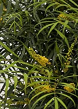 Southern Living Plant Collection 4126Q 2.5 Qt - Soft Caress Mahonia, Quart, Live Evergreen Shrub with Green Feathery Foliage