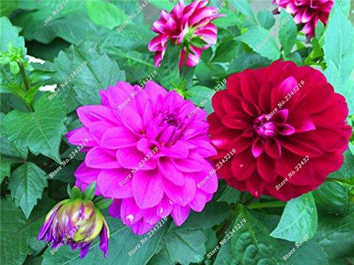 Jardin Mary Flower Seed, Mini Dahlia Bonsai Fleur plantes en pot, croissance naturelle, multi couleur de la fleur italienne Importation 100 Pcs 11