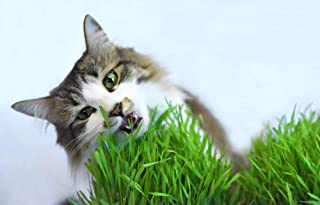 Cat Grass Seeds by Perfect Plants - 1lb. Bag - Guaranteed to Grow Non-GMO Wheat Grass Seed