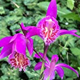 Steelwingsf 30 Unids/Bolsa Pleione Semillas Ecológicas De Crecimiento Rápido Plantas De Orquídeas Ornamentales Perennes Para Semillas De Flores De Jardín Para Plantar Al Aire Libre