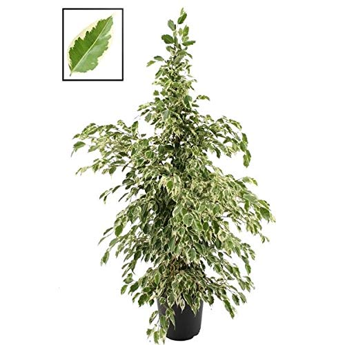 Ficus benjamina Twilight 130 cm Birkenfeige