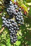 Weintraube Vitis vinifera Regent 60-100cm im Topf gewachsen mit blauen Trauben -