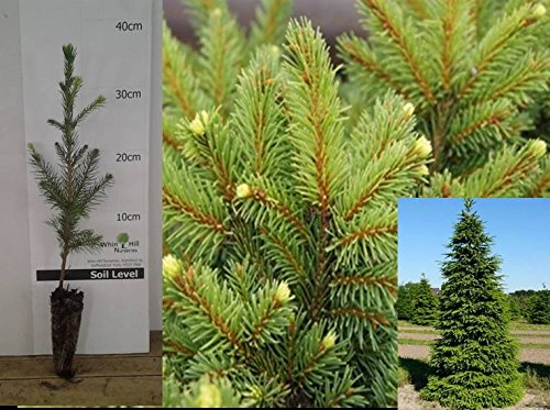 5x Picea abies Norwary spruce alive rooted plants, Traditional Christmas Trees Ready for planting