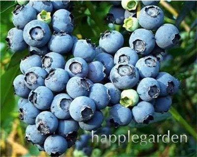 Bloom Green Co. Vente! 100 Pcs/sac bonsaïs aux bleuets comestibles de plantes fruitières Heirloom Bio Nain Blueberry Bonsaï Plante en pot pour jardin: 12