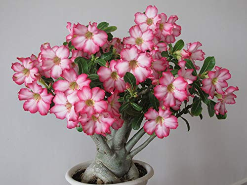 2 Desert Roses, Adenium Obesum one Year Plant, Baby Size Bonsai Caudex from Lankui (2 Roses)