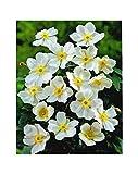 GARTHWAITE NURSERIES® : - Potted 1 Litre Hupehensis Honorine Jobert (Japanese Anemone) Late Garden Summer Perennial