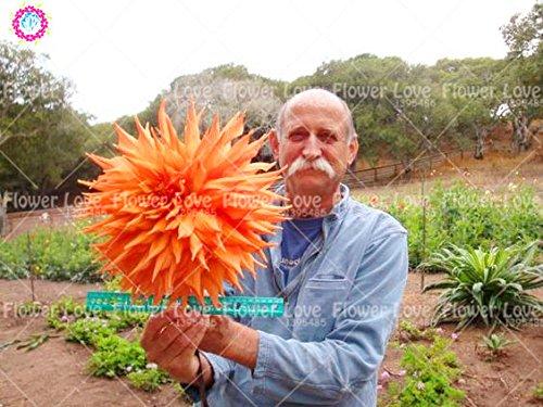 25PCS Seltene Riesen Dahlie-Blumen-weiße Dahlie Samen Bonsai Blumensamen Wunderschöne Blumen Balkon Topfpflanze Für Hausgarten 6
