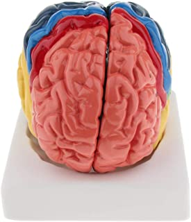 Flameer Colored Brain Model - Anatomical Structure, Human Anatomy for Medical Students Learning