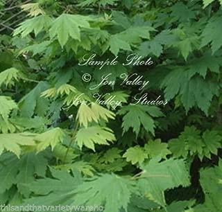 Acer Japonicum 'Acontifolium' Japanese Downy Maple Seeds Orange Fall Leaves Rare