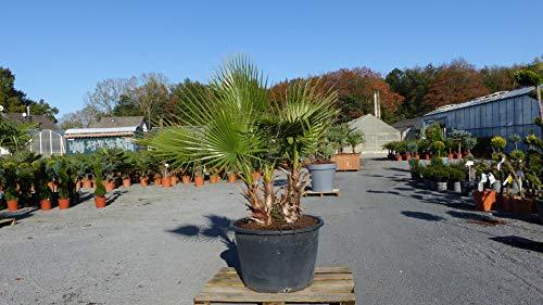 genau diese 3er Palmengruppe: 160-180 cm Washingtonia Robusta Petticoat Palme