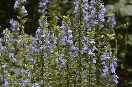 ScoutSeed Keine: Lobelia siphilitica (Blaue Lobelie) - Marginal Teichpflanzen - Teichpflanzen - Wasser