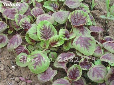 Herb Amaranthus Tricolor Seeds 50 Pcs graminée Semente non Ogm végétale comestible Bonsai Plante en pot sain sucré 3