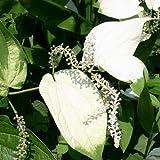 (ビオトープ)水辺植物 ハンゲショウ(1ポット) 抽水植物 (休眠株)