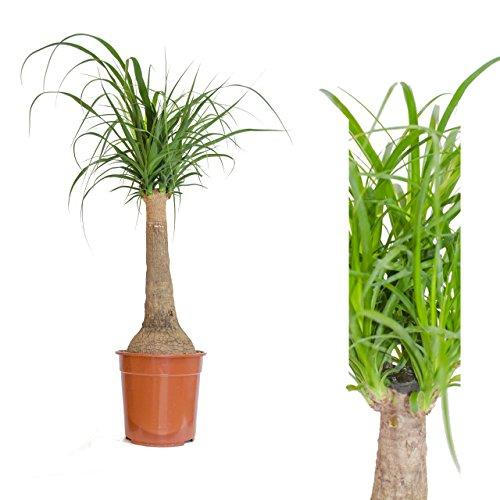 1 Pflanzen Elefantenfuß 90 cm +/- Beaucarnea recurvata, Wasserpalme,Flaschenbaum