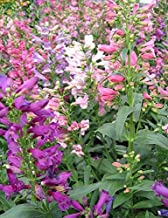 50+ penstemon Rondo Mix Flower Seeds/barbatus/Hummingbirds/Perennial