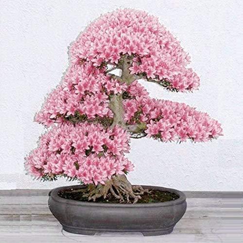 Xianjia Garten - selten 10 Korn Japanische Blütenkirsche Sakura-Samen winterhart Bonsai Samen Kirschblüte Hof Topfpflanze(Reich am Stamm blühender Freiland-Bonsai) (Rosa)