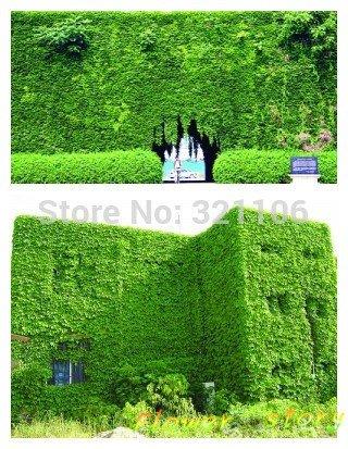 40(Bostonian Ivy/murale Ivy) Parthenocissus Tricuspidata Veitchii Vigne grimpante feuillage plantes Semences semis Seasons YI