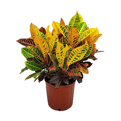 Product Image 1: Croton Petra Plant – Tropical Foliage Plant Live – 3 Gallon Pot – Overall Height 20″ to 24″ – Tropical Plants of Florida (Plant Only)