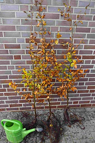 100st. Rotbuchen 60-80cm Gartenhecke Heckenpflanzen Fagus sylvatica Rotbuche Wurzelware