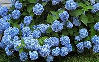 Nikko Blue Hydrangea - Live Plants Shipped 1 Foot Tall by DAS Farms (No California)