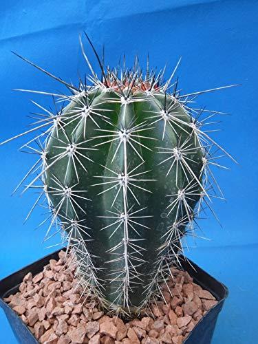 Saguaro Cactus 6