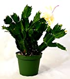 "9GreenBox - Rare Yellow Christmas Cactus Plant - Zygocactus - 4"" Pot"