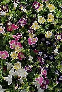 Torenia Kauai Mix Annual Flowers Seeds 250 Pcs an