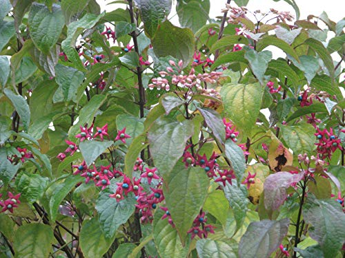 Losbaum Clerodendron trichotomum var. fargesii Pflanze 35-40cm Harlekin-Losbaum