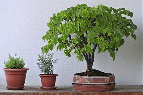 Teebaum 20 Samen (Leptospermum brachyandrum) Bonsai/Garten