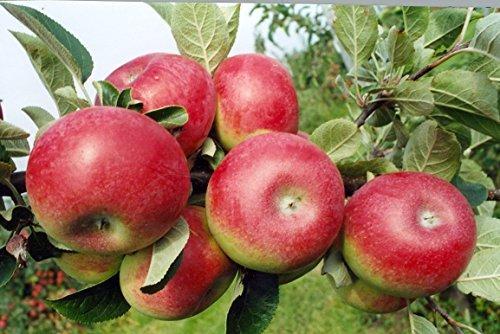 Apfel Baum \'Gravensteiner\' Malus domestica Topf gewachsen 150-200cm im 7,5L Topf winterharter Obstbaum