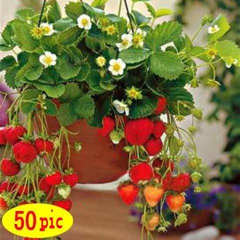 50 graines/paquet Four Seasons en pot de graines de fraises vivaces Résultats balcon graines de fleurs 50 graines de fruits et légumes