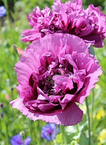 Mohn, Schlafmohn 'Lila Paeony' 50 Samen - Papaver somniferum (Poppy Purple Peony)