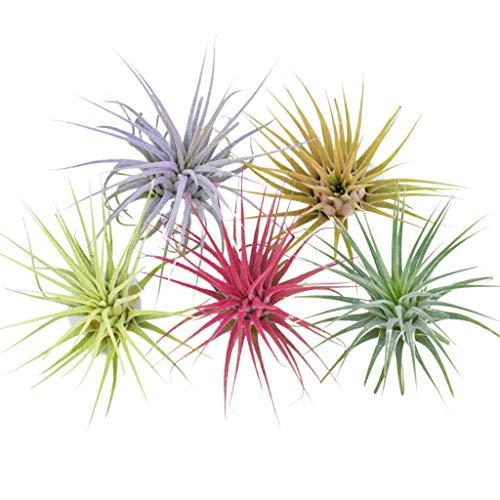 5 Pack Color Enhanced Air Plants Live House Plants Terrarium Plants Small Air Plant Tillandsia...