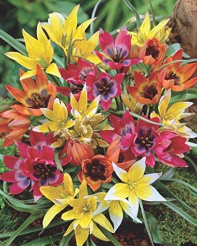 Wildtulpen gemischt Botanische Tulpen 50 Blumenzwiebeln