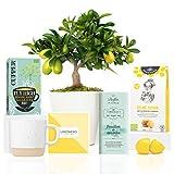 Lote Gourmet Regalo Sweet Lemon con Limonero Lakeland 38 cm en maceta 16 cm, guía de cuidados, taza cerámica, infusión ecológica, chocolate de menta y galletas de limón entregado en caja de regalo