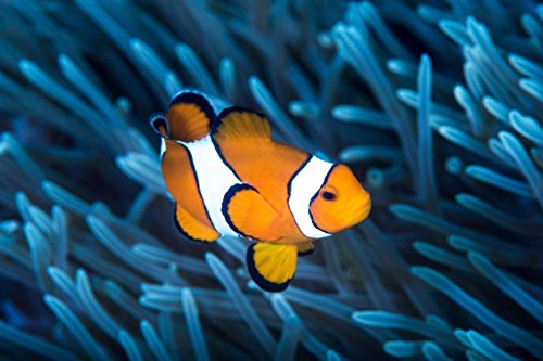 Ocellaris Clownfish Among Tentacles Sea Anemone Photo Photograph Cool Wall Decor Art Print Poster 36x24