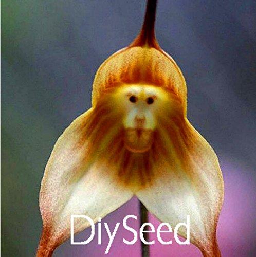 Singe orchidées visage semences 100 pcs variétés multiples Bonsai plantes Semences pour la maison et le jardin Fleurs planteurs Belle, # XKPHSQ