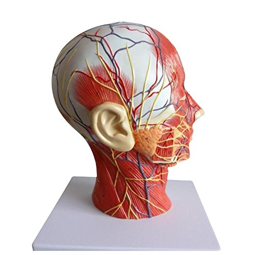 Zeta Half Head Superficial Neurovascular Model with Musculature, Life Size for Anatomical Teach and Neck Vessels Nurse Study-Training