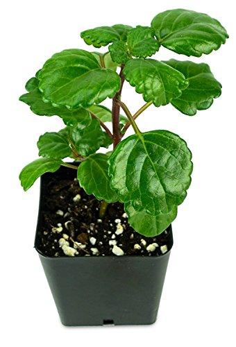 Sprig & Stone Plectranthus Australis - Swedish Ivy (Green)
