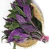 金時草(キンジソウ)や「式部草(しきぶそう)」と呼ばれているものは標準和名では「水前寺菜(スイゼンジナ)」といい、東南アジアが原産とされるキク科の多年草です。熊本県の水前寺地区(現在の熊本市中央区水前寺町)で湧き水を利用して栽培されたことから水前寺菜と呼ばれるようになったと言われています。葉の部分と若い茎を食用とし、葉は少し厚みがあり、折り曲げるとパリッと割れるような肉質ですが、茹でるとぬめりが出てきます。自社農場から新鮮直送!! 【育て方】 <日当たり・置き場所> 日当たりがよい場所を好みます...