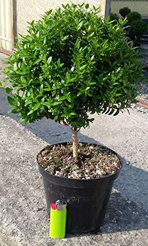 Myrtus Stämmchen 25-30 cm Myrtus communis - Brautmyrte