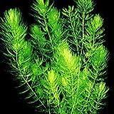 TankMR 100Pcs Ceratophyllum Demersum Sembrando Semillas, Polinizado Abierto, Abejas, Colibríes, Mariposas, Polinizadores, Decoración De Jardín De Oficina Semillas de Ceratophyllum Demersum