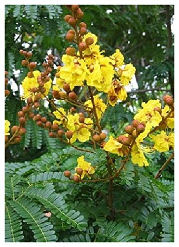 TROPICA - Gelber Flammenbaum (Peltophorum pterocarpum) - 20 Samen