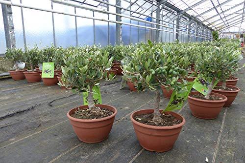 Olivenbaum Bonsai auf Stamm Formgehölz, Olive winterhart, Olea europaea