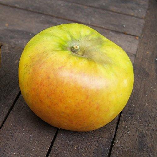 Müllers Grüner Garten Shop Goldparmäne historischer Herbstapfel Apfelbaum Buschbaum kleinbleibend M9