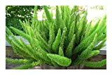 Asparagus densiflorus Mazeppa - Mazeppa Farn - 10 Samen